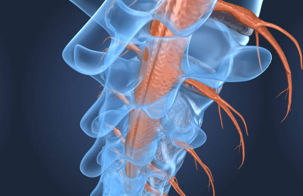Spine anatomy x-ray macro view, 3d render stock photo