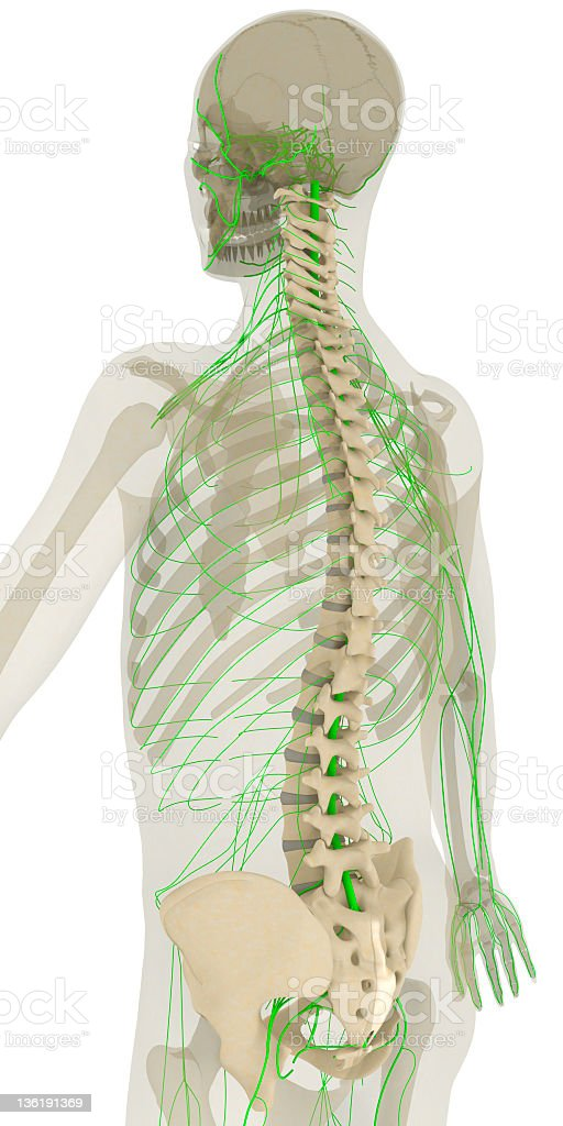 Spine and nervous system stock photo