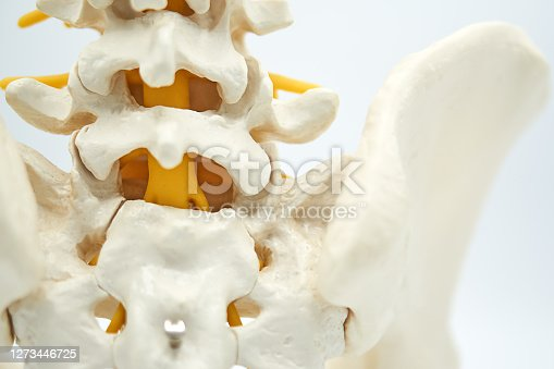 model of the human spine isolated on white