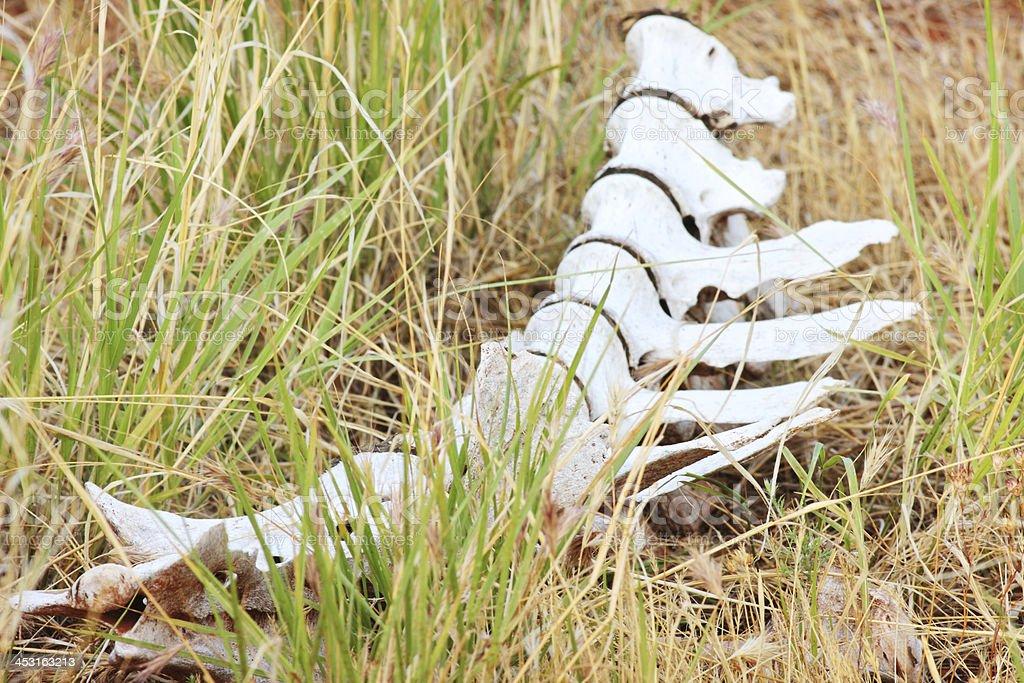 Spine Vertebra Animal Skeleton Bone stock photo