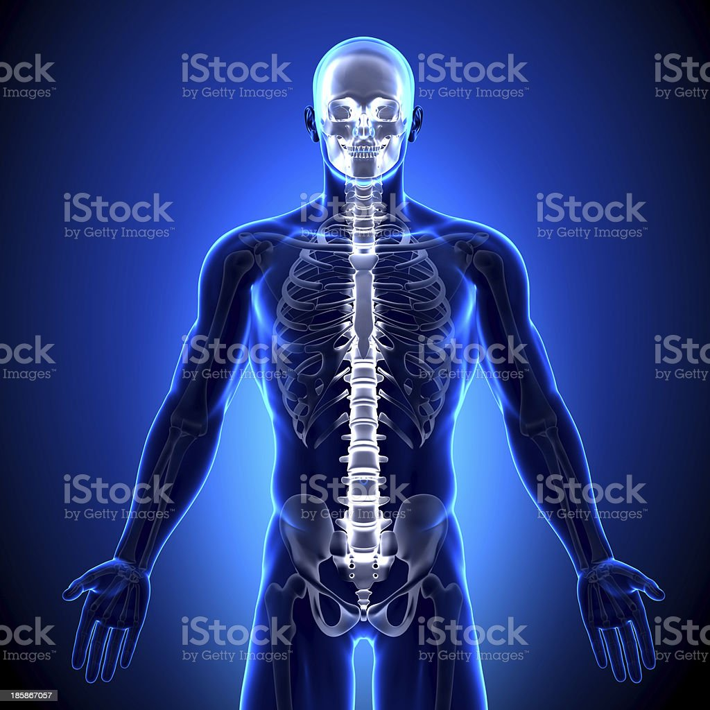 Spine Vertebrae - Anatomy Bones royalty-free stock photo
