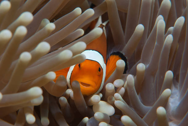 Spinecheek Anemonefish Spinecheek Anemonefish nemo museum stock pictures, royalty-free photos & images