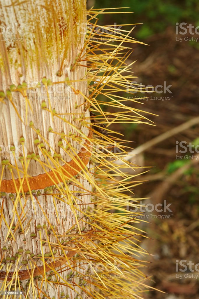 Spines on the Nobel Palm tree royalty-free stock photo