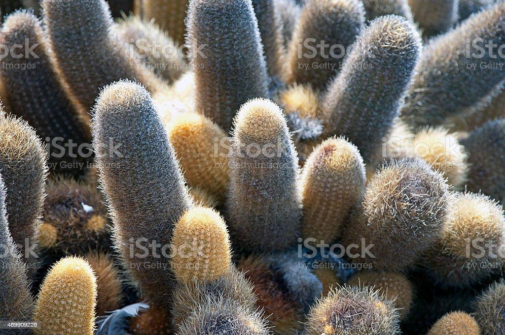 Spiney closeup, Lava Cactus, Galapagos Islands, Ecuador stock photo