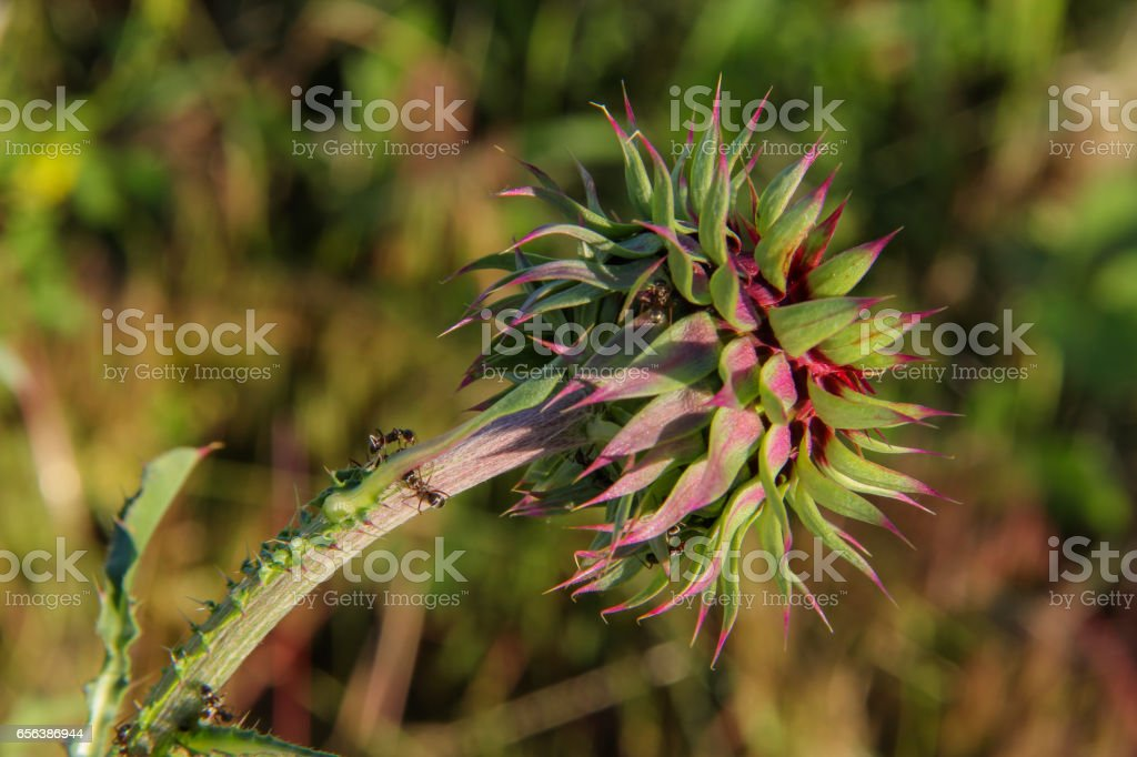 Spiney Thistle stock photo