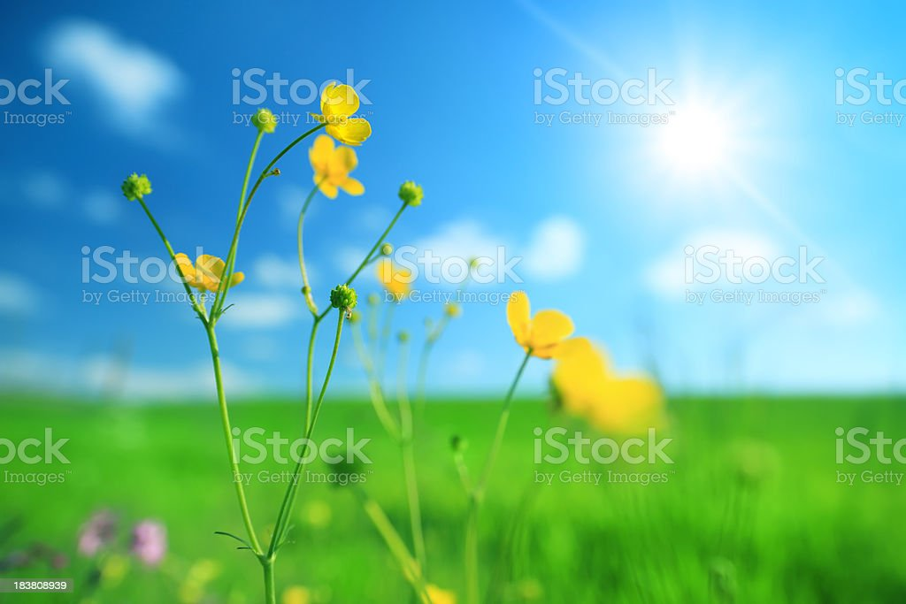 Sping Flowers - meadow - Royalty-free Blue Stock Photo