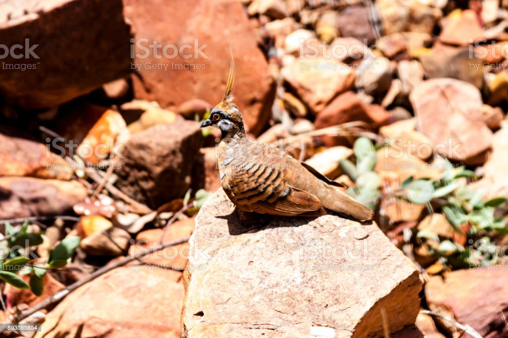 Spinifex Pigeon. Kings Canyon, Australia stock photo