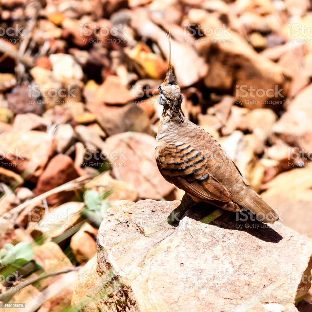 Spinifex Pigeon. Kings Canyon, Watarrka National Park,  Australia stock photo