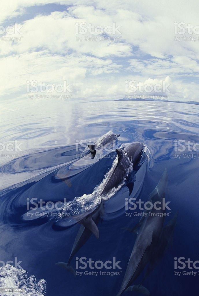 Spinner Dolphin Delight, Stenella longirostris royalty-free stock photo