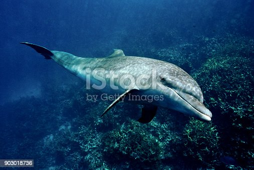 The spinner dolphin (Stenella longirostris) is a small dolphin found in off-shore tropical waters around the world