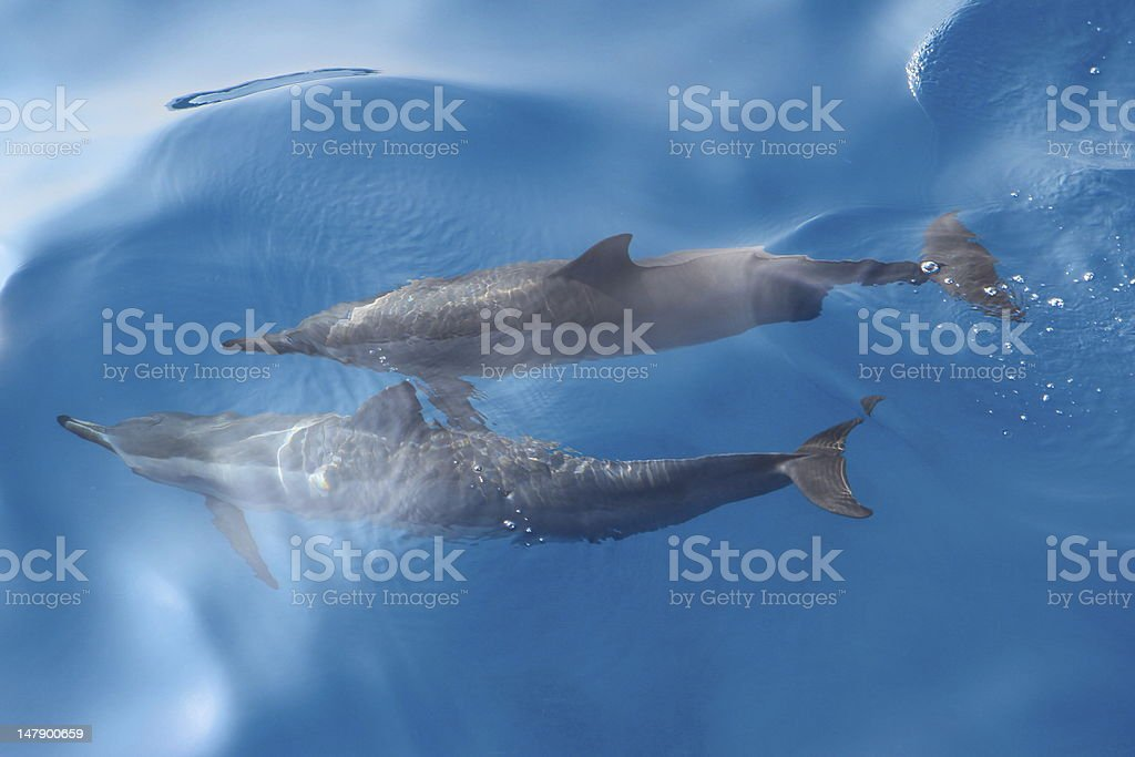 Spinner Dolphins stock photo