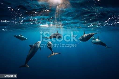 Spinner dolphins underwater in blue ocean