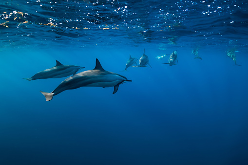 istock Spinner dolphins underwater in Indian ocean, Mauritius 1179139510