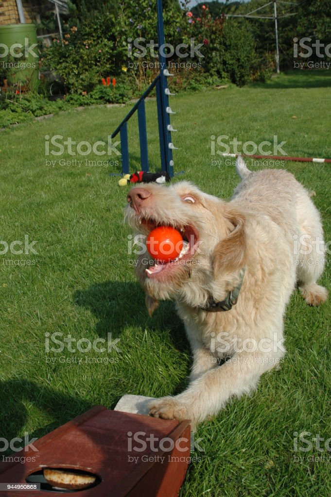 Spinone dog catches a ball from a flyball machine stock photo
