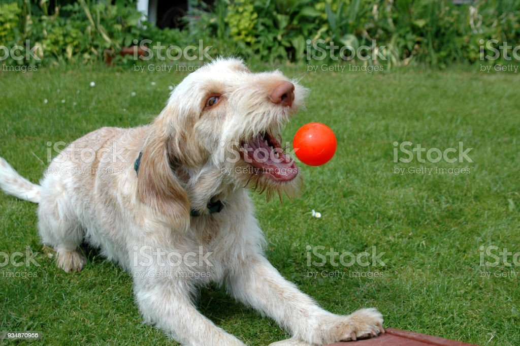 Spinone grabs a ball stock photo