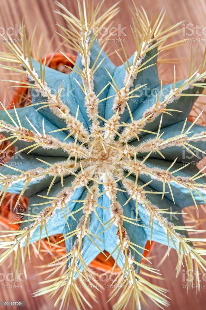 Cactos espinhosos, vista superior. Cacto azul esverdeado com agulhas muito amarelos. Plano de leigos. Close-up. - foto de acervo