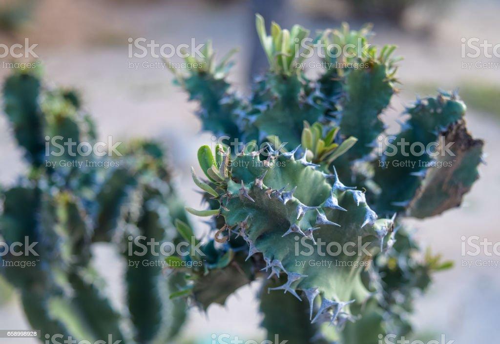 Spiny green plant of Tunisia. Djerba island. North Africa royalty-free stock photo