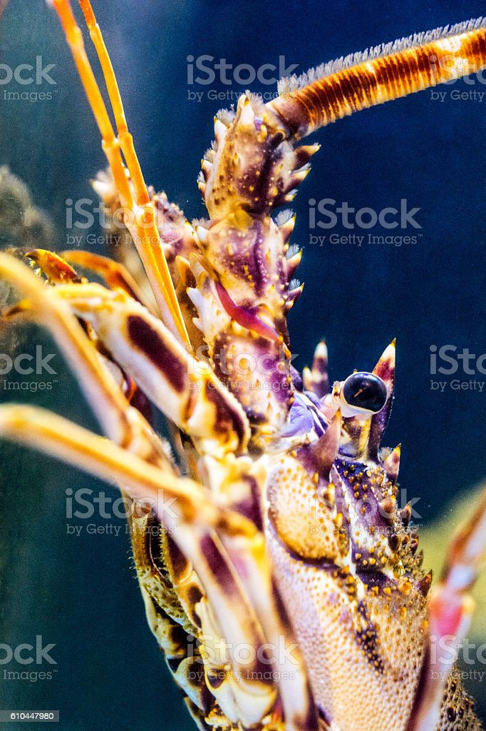 Spiny lobster close-up stock photo