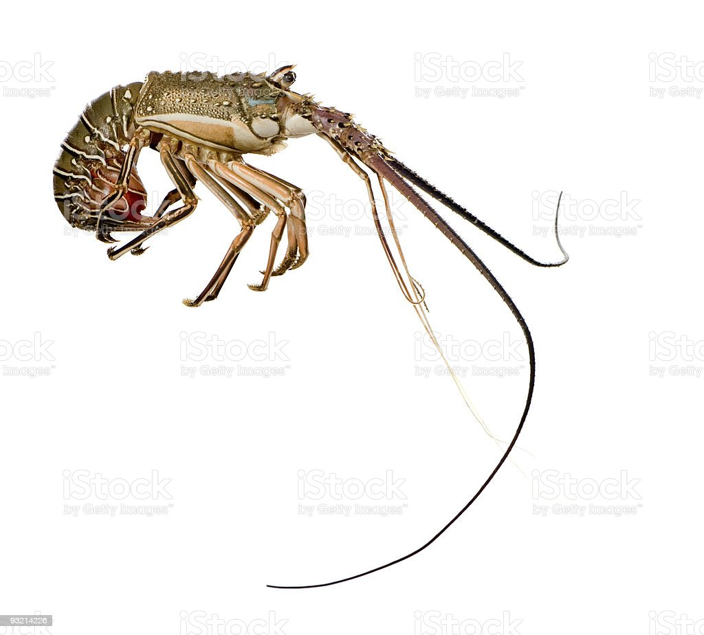 Spiny lobster - Palinuridae stock photo