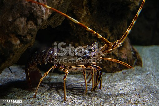 Spiny lobster - Palinurus elephas. Underwater shot of lobster on the ocean bottom floor. These shellfish are common in western Europe