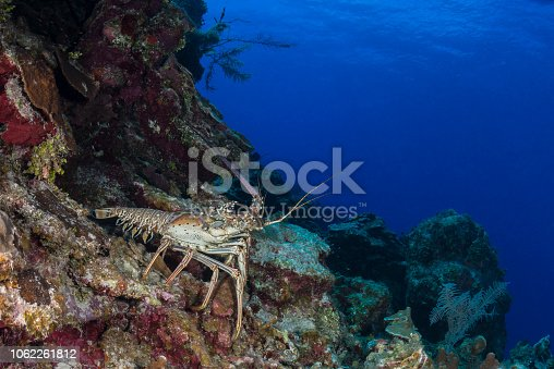Spiny lobsters, also known as langustas, langouste, or rock lobsters, are a family (Palinuridae) of about 60 species of achelate crustaceans, in the Decapoda Reptantia