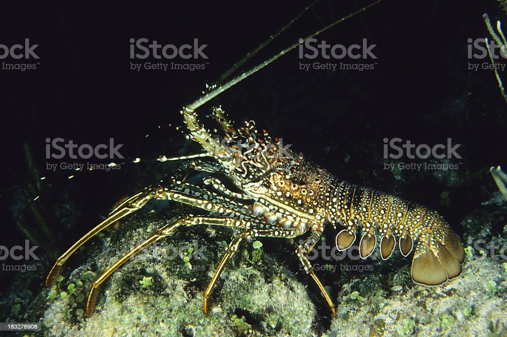 Spiny Lobster stock photo