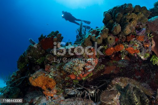 View of Spiny lobsters and a diver in Cayman Brac - Cayman Islands