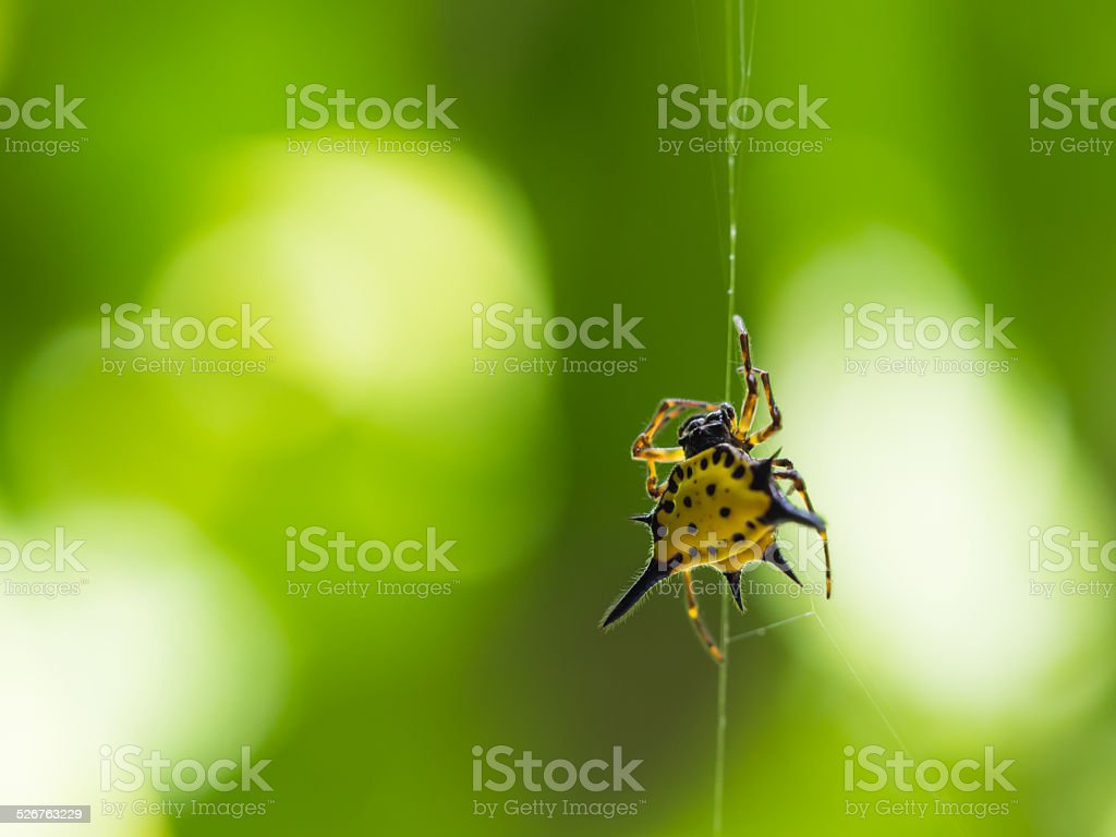 Spiny Orb Weaver Spider stock photo