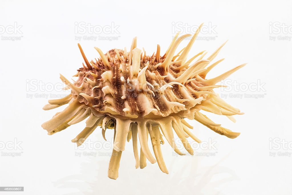 Spiny Oyster Shell on White stock photo