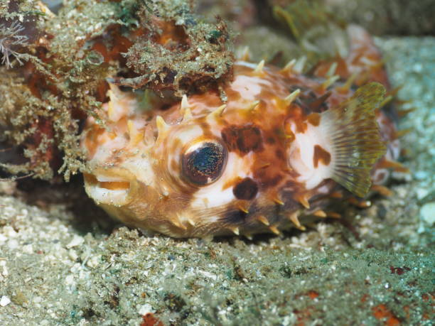 Spiny porcupine fish - balloonfish looking at camera stock photo