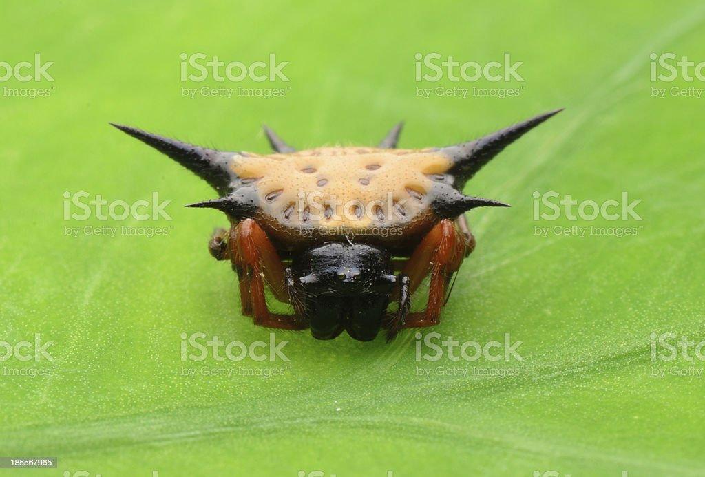 spiny spider stock photo