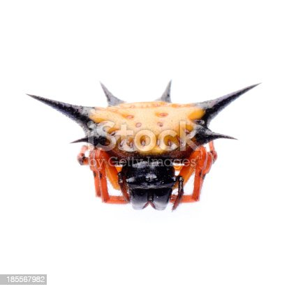 spiny spider spinybacked orbweaver isolated