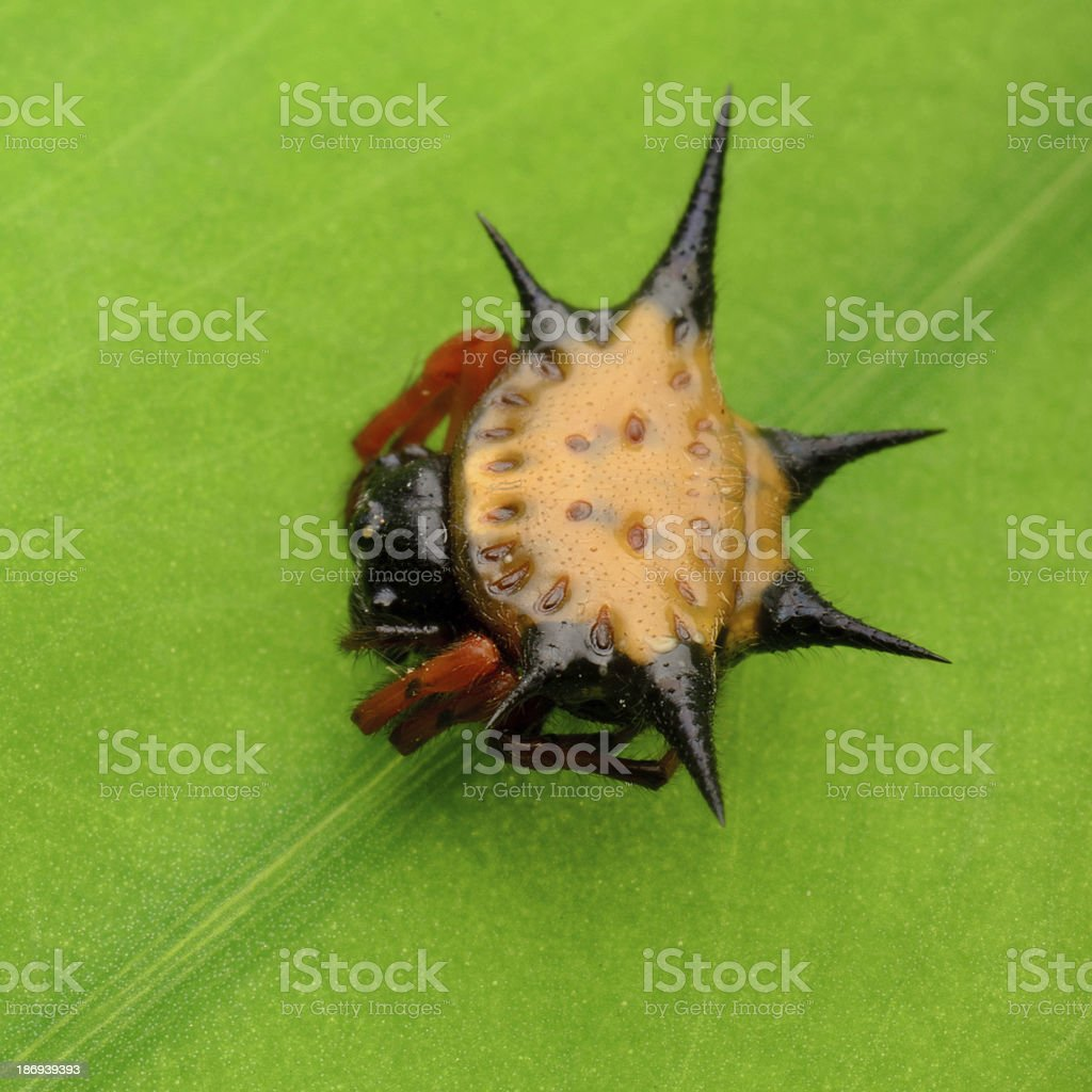 spiny spider royalty-free stock photo
