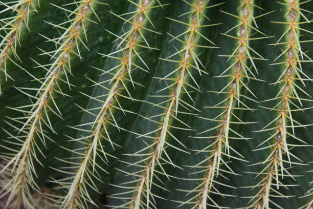 Spiny thorns, cactus plant. stock photo