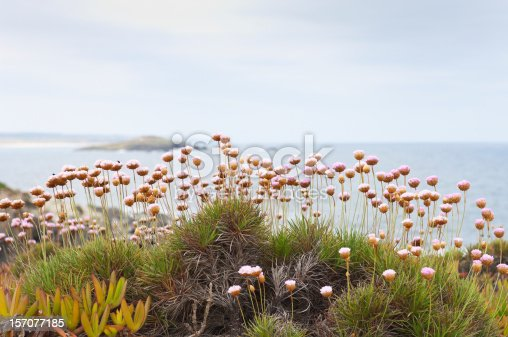 Spiny Thrift - Armeria pungens - in the portuguese coastline near Sines, Portugal