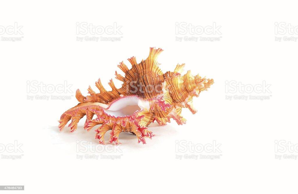 Spiny Triton Seashell stock photo