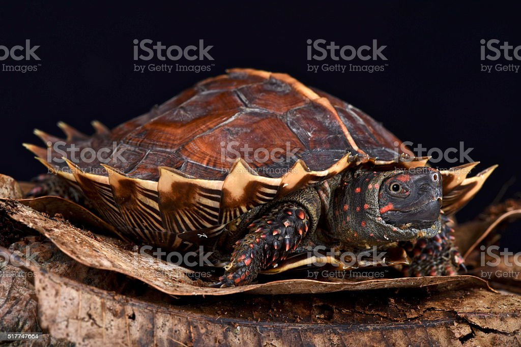 Spiny turtle (Heosemys spinosa) stock photo