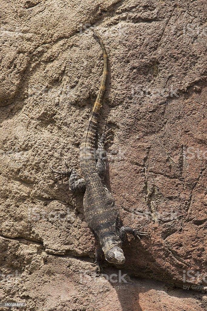 Spiny-tailed Iguana on Rocks royalty-free stock photo