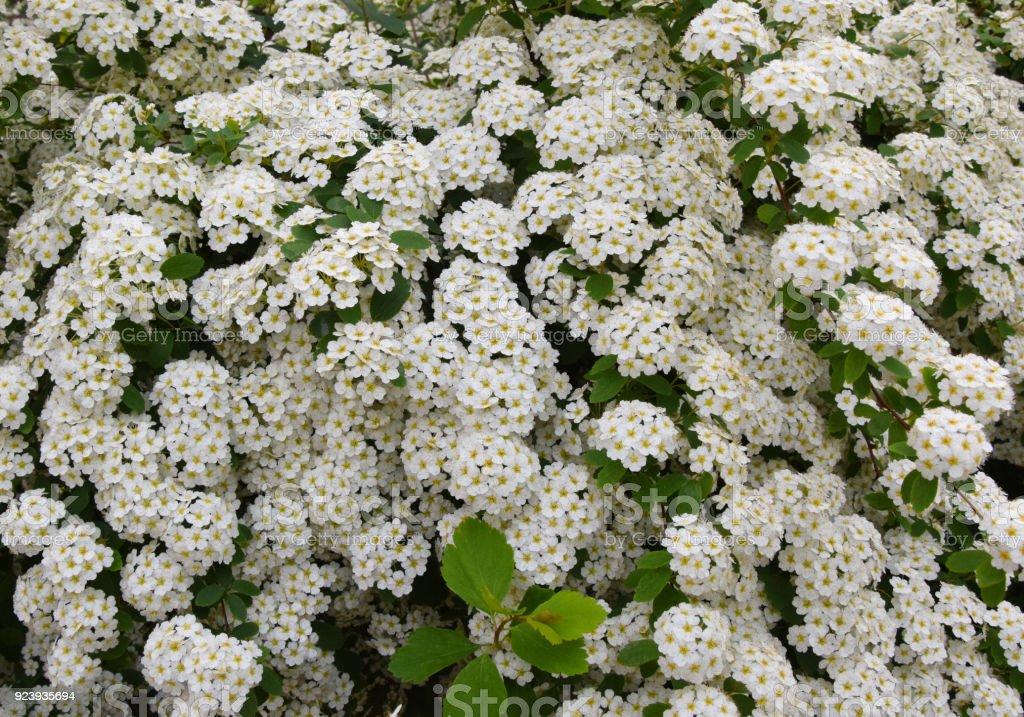 Spiraea Mischpflanzungen Kleine Weiße Blumen Hintergrund Stock ...