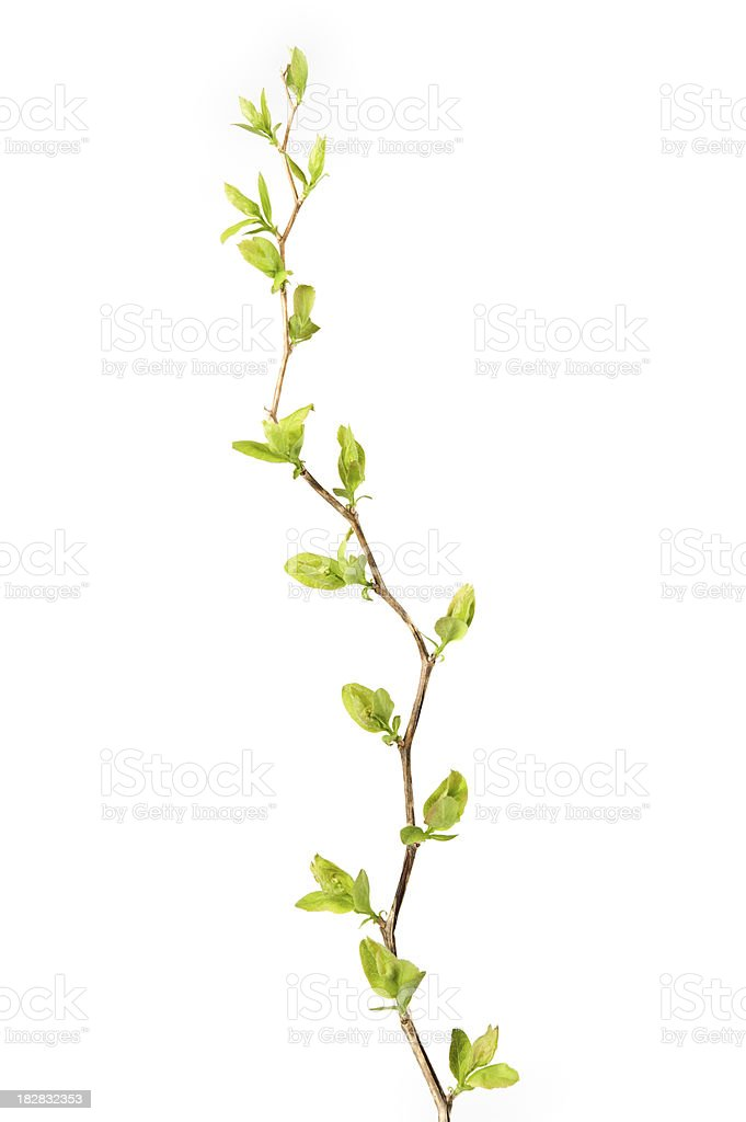 Spiraea branch in spring on white background royalty-free stock photo
