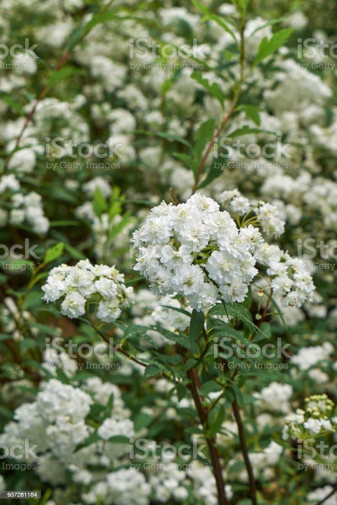 Spiraea cantoniensis shrub stock photo