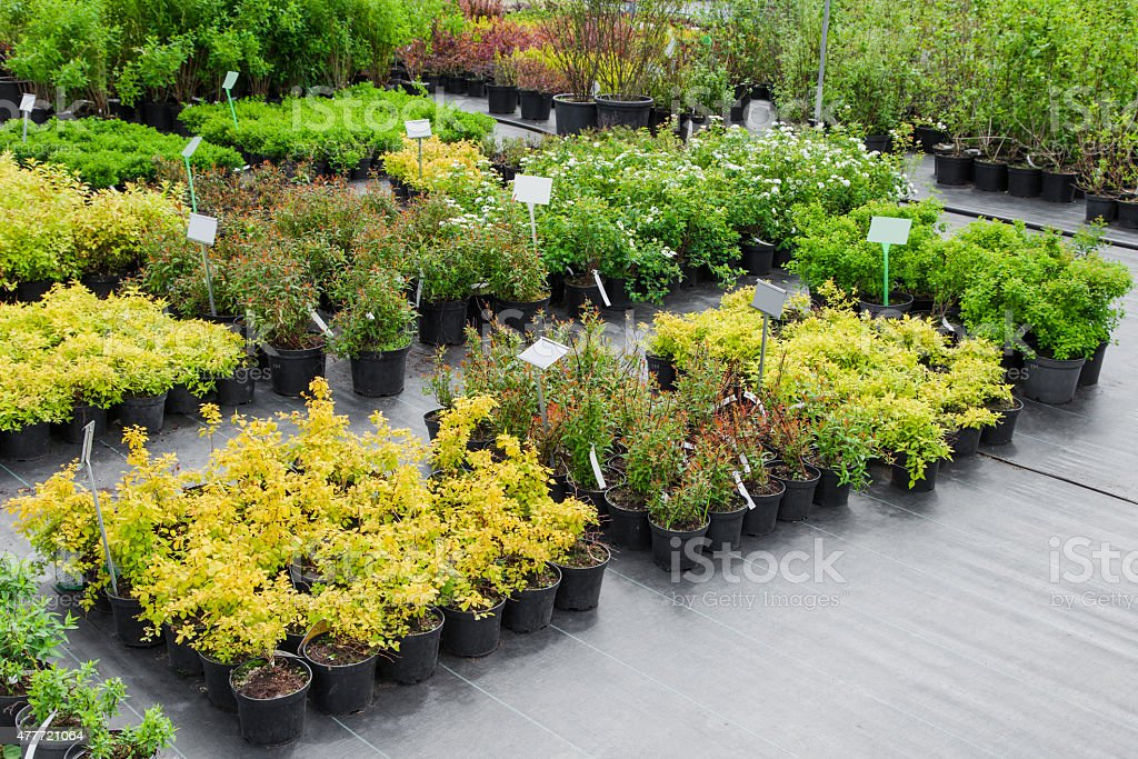 Spiraea in pots on sale stock photo