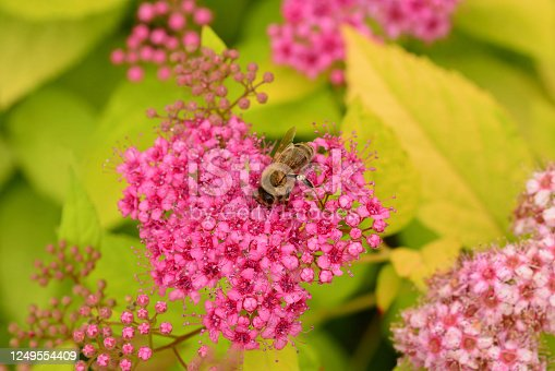 Ornamental garden: Macro picture of a blooming  Spiraea japonica 'Goldflame' visted by a honey bee.