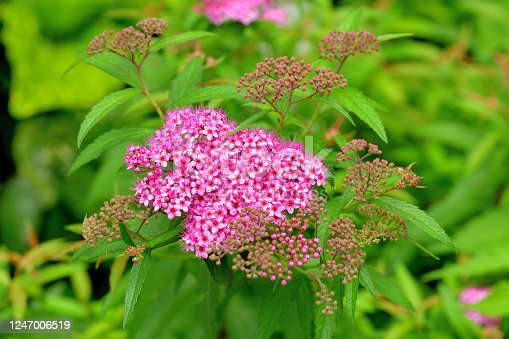 Spiraea japonica, commonly called Japanese spirea or Japanese meadowsweet, is a dense, upright, mounded deciduous shrub that grow 1-2 meter tall. Tiny pink flowers in flat-topped clusters cover the foliage from late spring to early summer, with sparse and intermittent repwat bloom sometimes occurring.