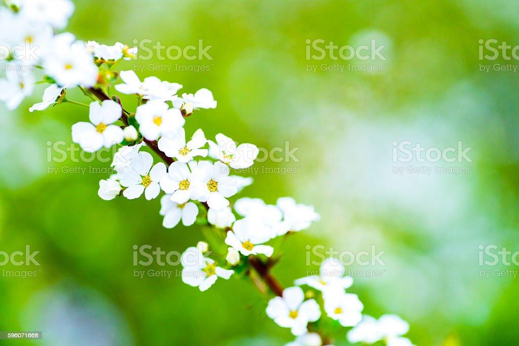 Spiraea royalty-free stock photo