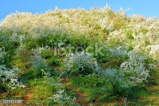 Spiraea thunbergii, also called thunderberg's meadow sweet, baby's breath spirea, Thunberg spirea, breath of spring spirea, and yuki-yanagi in Japanese, is a dense, twiggy, upright, deciduous shrub with wiry, outward-arching branching. Native to Japan and China, it is particularly noted for its early spring bloom (April before foliage) of tiny white flowers in clusters.