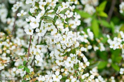 Spiraea thunbergii Bl.blooming in spring