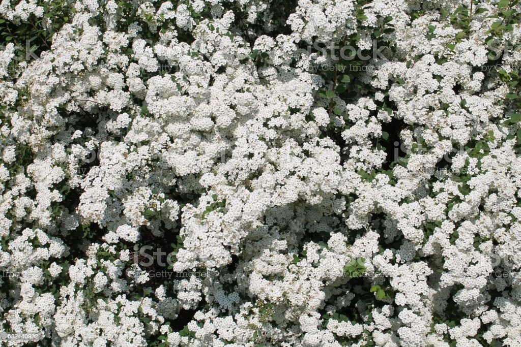 Spiraea white flowers. White meadowsweet royalty-free stock photo