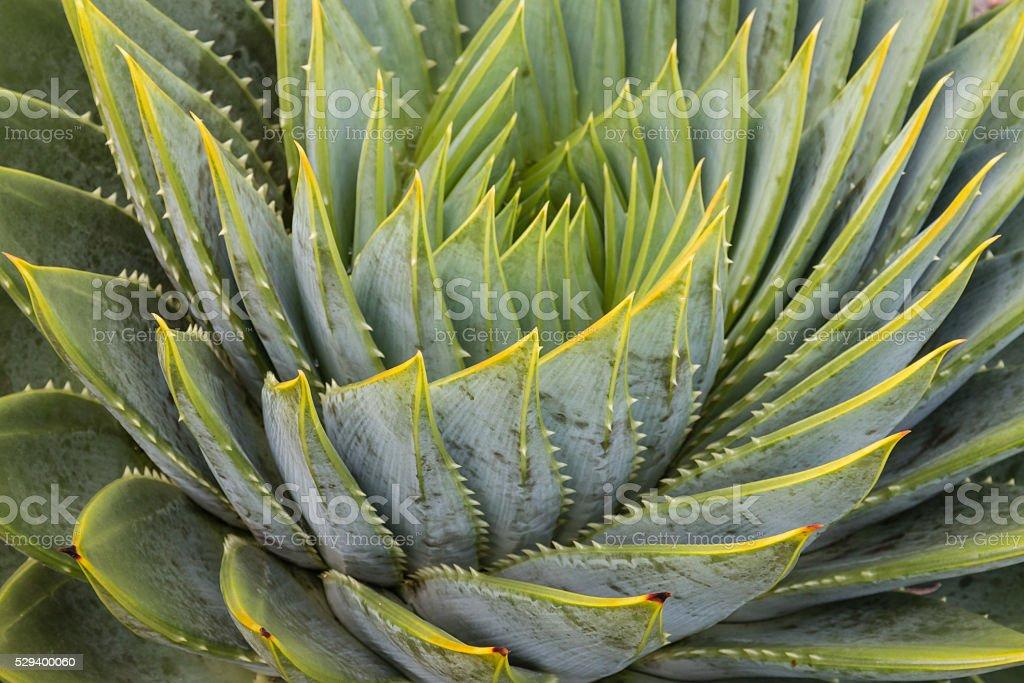 spiral aloe leaves stock photo