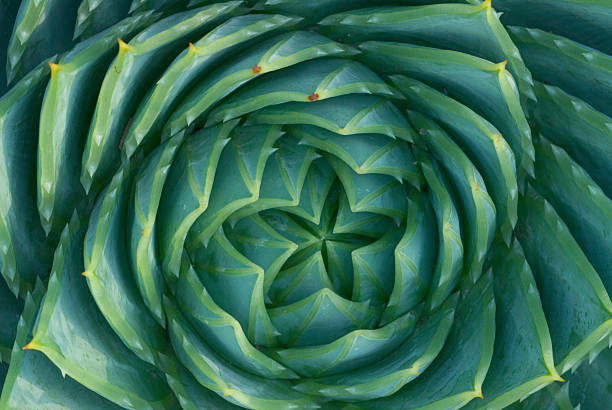 Spiral Aloe stock photo